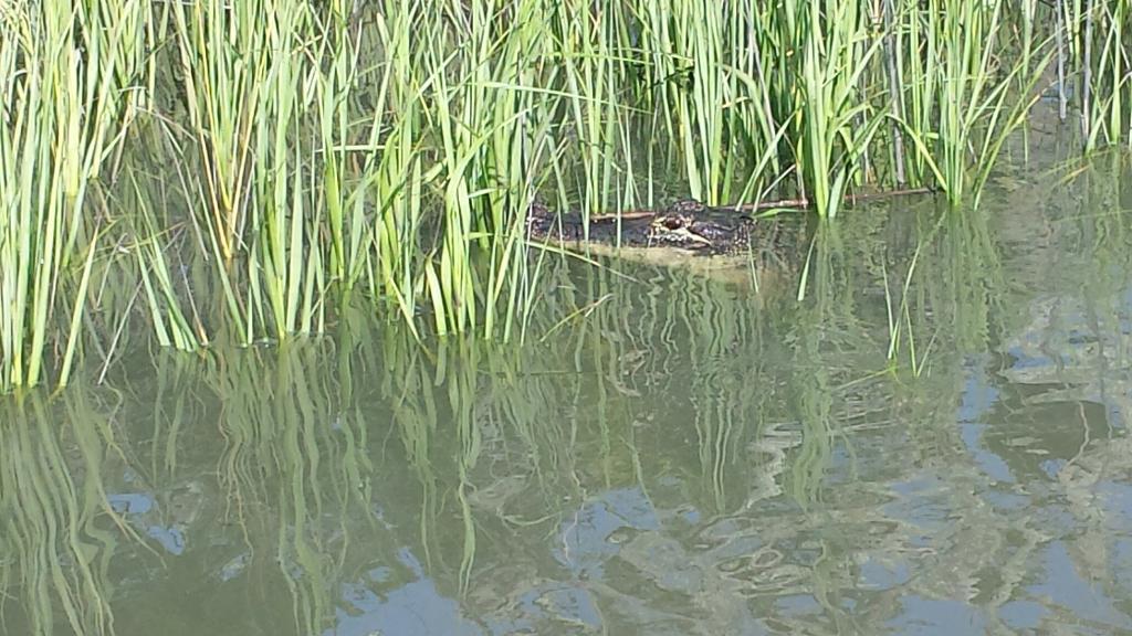 Alligator in the Salt Marsh
