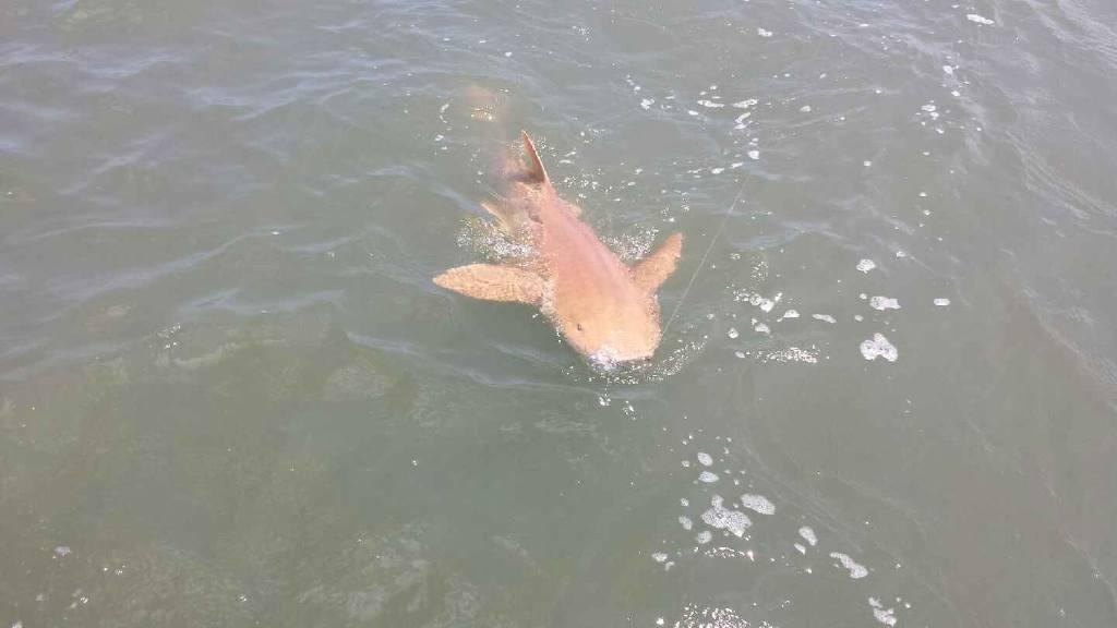 A not too common nurse shark