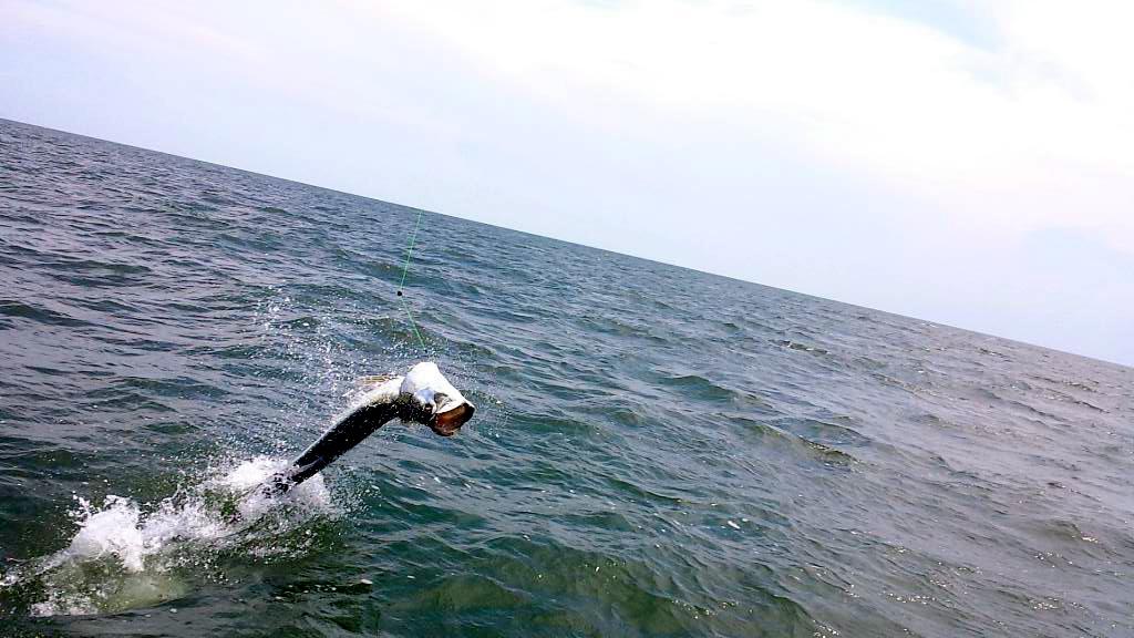 Tarpon going airborne!