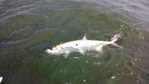 Ron Walters with 100 lb tarpon! Its tarpon time!